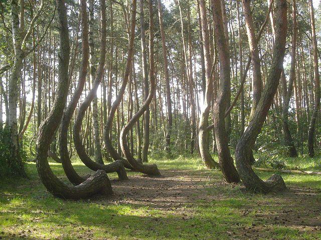 640px-Nowe_czarnowo-krzywy_las